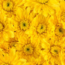Cushions Yellow 12 Bunches