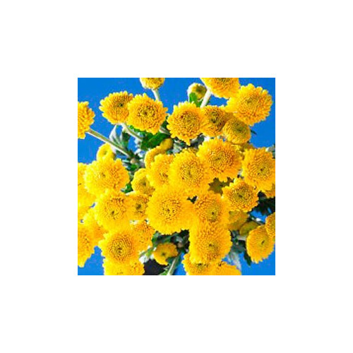 Buttons Yellow Solid Pack 12 Bunches