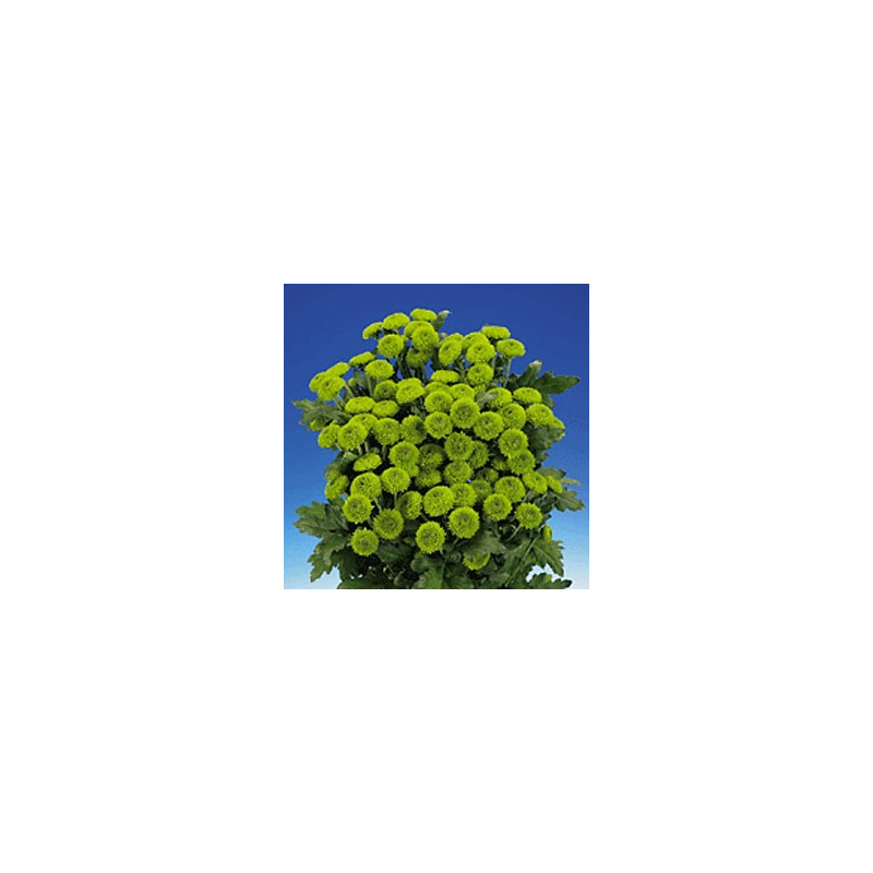 Buttons Green Solid Pack 12 Bunches