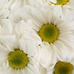 Daisy White 12 Bunches