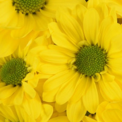 Daisy Yellow 12 Bunches