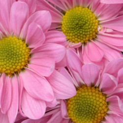 Daisy Lavender 12 Bunches
