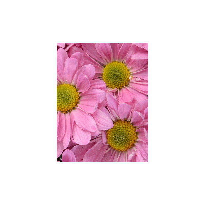 Daisy Pink 12 Bunches