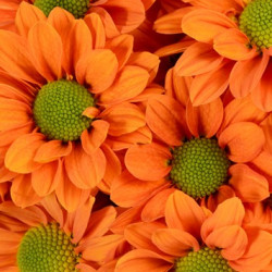 Daisy Orange 12 Bunches