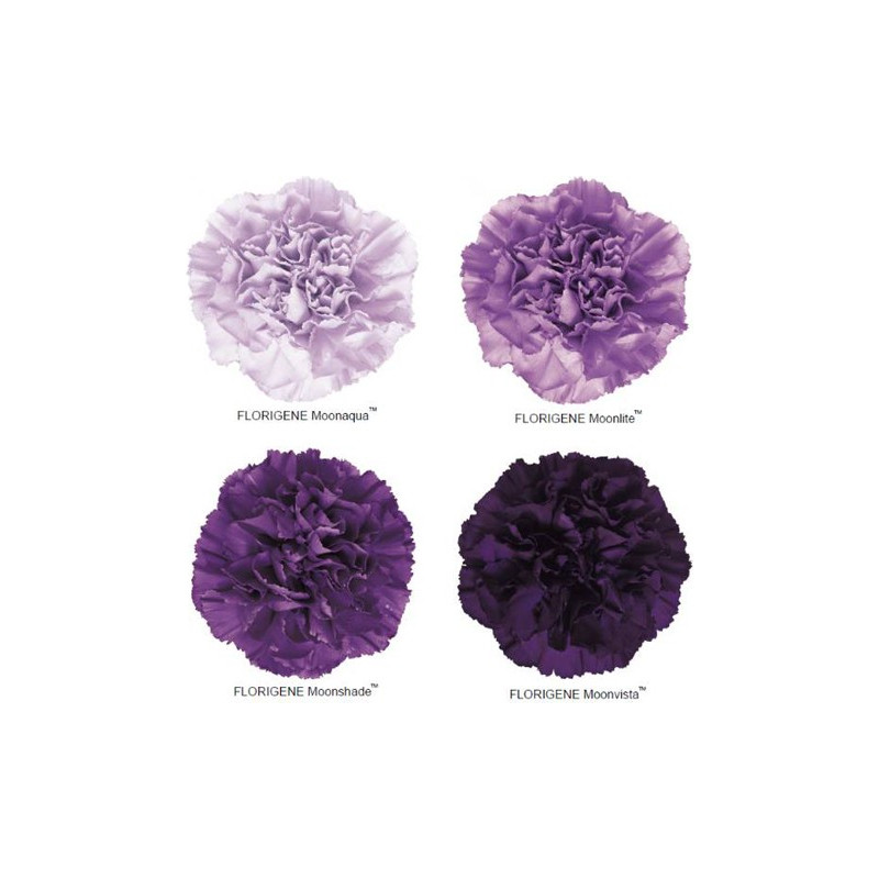 Moon Series Carnations Assorted