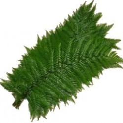 Feather Fern