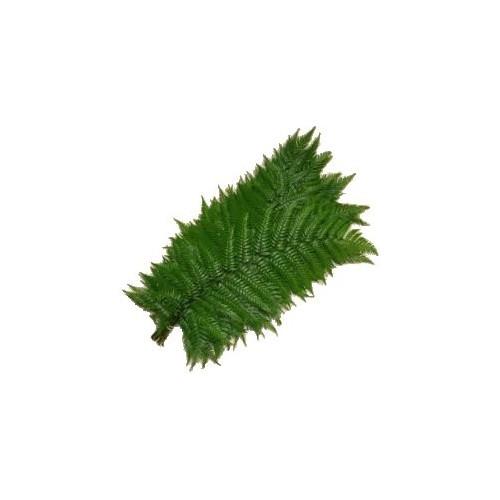 Feather Fern