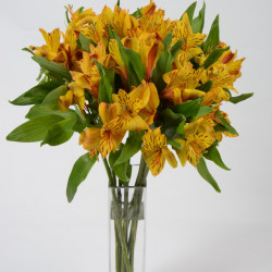 Alstromeria Yellow By the Box