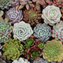 Succulents 30 or 40 Stems