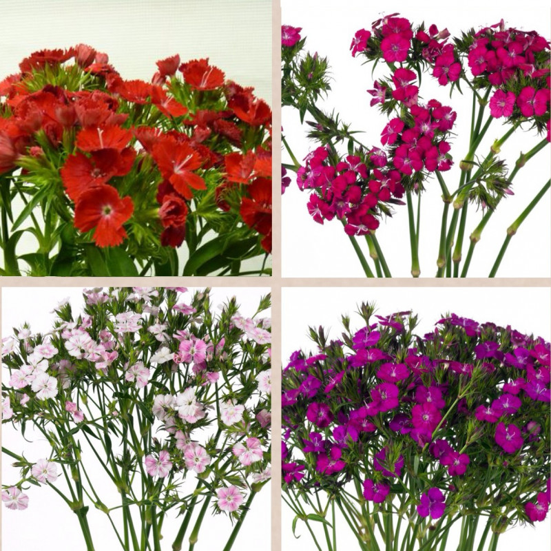 Dianthus By the Box 10 Bunches
