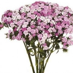 Dianthus By the Bunch Pink