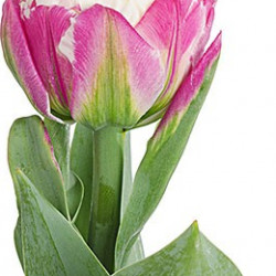 Super Fancy Tulips Assorted By the Box