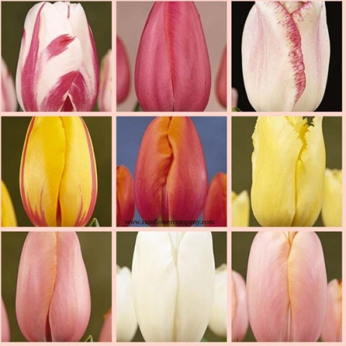 French Tulips Assorted By the Box