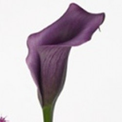 Mini Calla Solid Color Pack 60 Stems