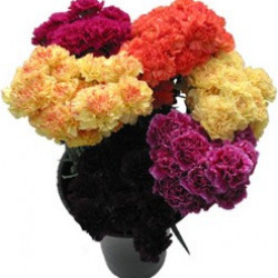 Carnations Assorted 150 Stems