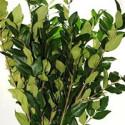 Kale (Brassica) 10 Stems
