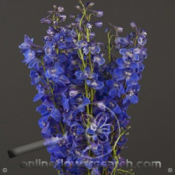 Delphinium Sea Waltz By the Box 15 Bunches
