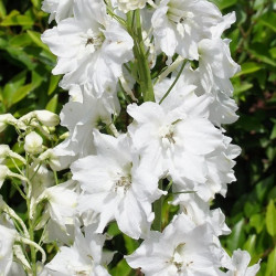"Delphinium White ""Galahad""  By the Box 14 Bunches"