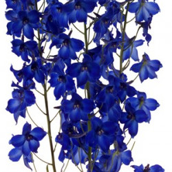 Delphinium Volkenfrieden By the Box 16 Bunches