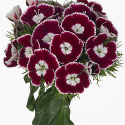 "Dianthus ""Breanthus"" Assorted By the Box 120 Stems"