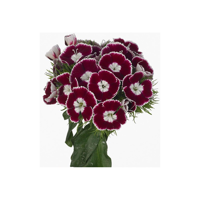 """Dianthus """"Breanthus"""" Assorted By the Box 120 Stems"""