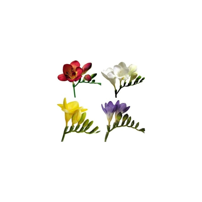 Freesia Assorted By the Box 10 Bunches