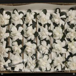 Gardenia Semi 24 Blooms