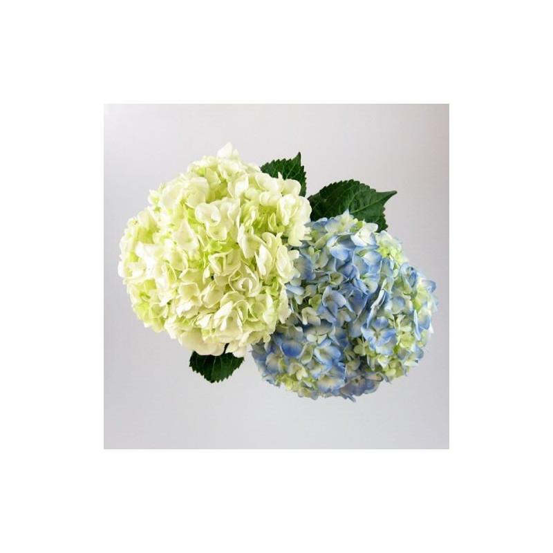 Hydrangea Assorted