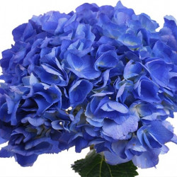 Hydrangea Shocking Blue 20 stems