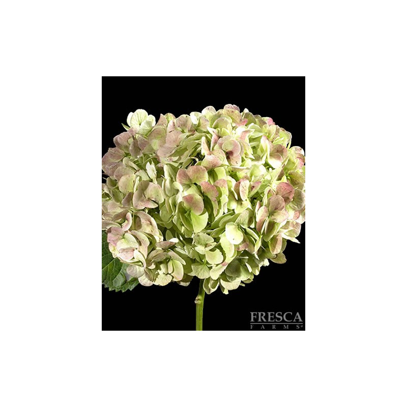 Hydrangea Antique Green Jumbo 12 Stems