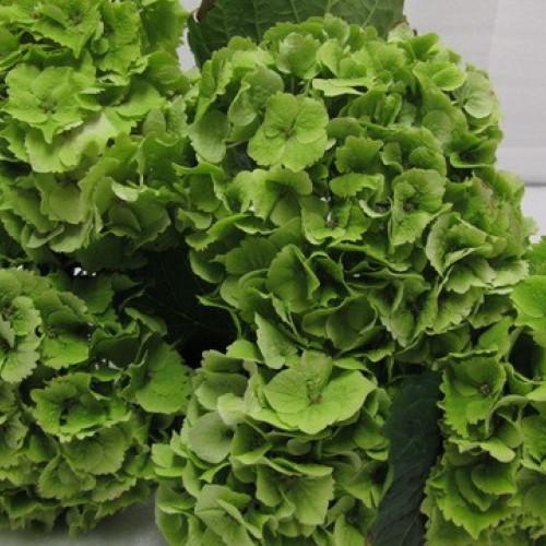 Hydrangea Dark Green Emerald 24 Stems