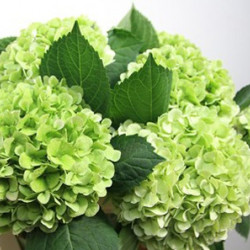 Hydrangea Light Green Emerald 24 Stems