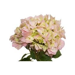 Hydrangea Pink 20 stems