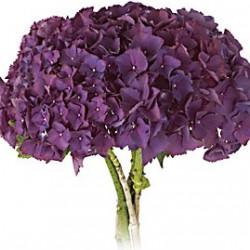 Hydrangea Purple 20 stems