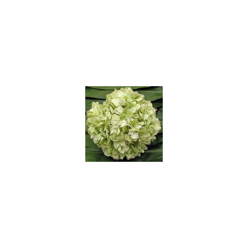 Hydrangea Sage Green Jumbo 12 Stems