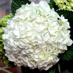 Hydrangea White  Jumbo 12 Stems