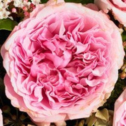 "Garden Rose Light Pink ""Miranda"" 36 Stems"