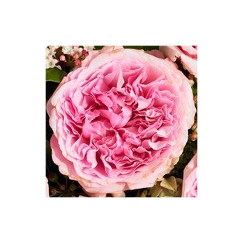 "Garden Rose Light Pink ""Miranda"" 36 Stems"