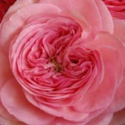 Garden Rose Pink Maria Theresia 36 Stems