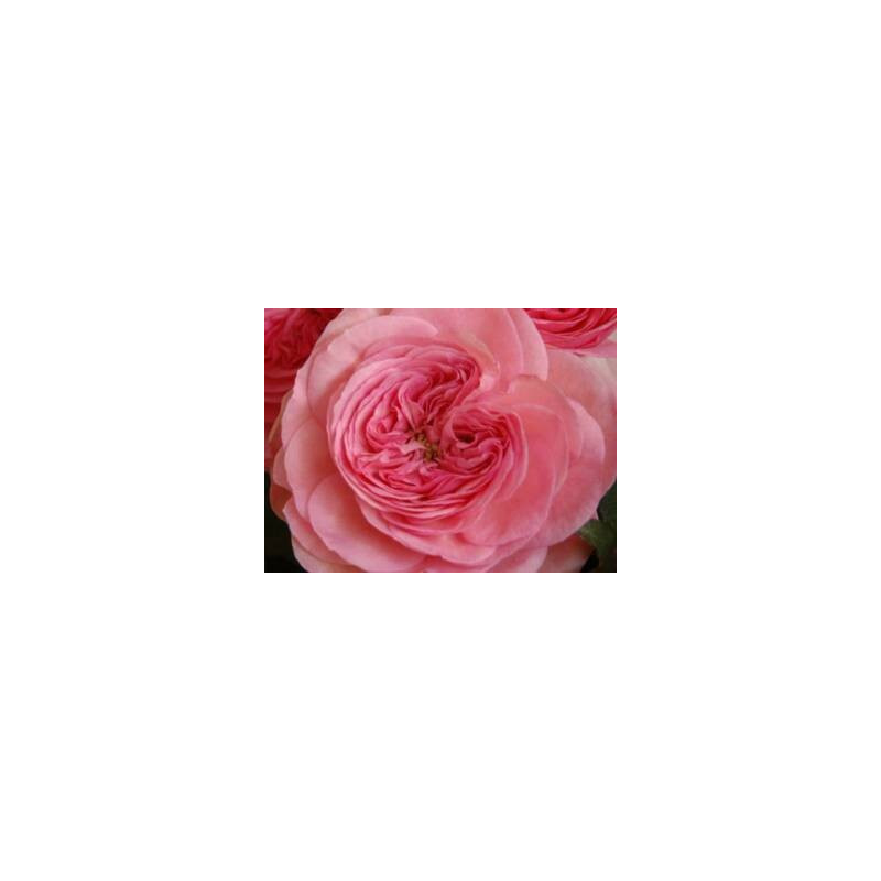 Roses In Garden: Garden Rose Pink Maria Theresia 36 Stems