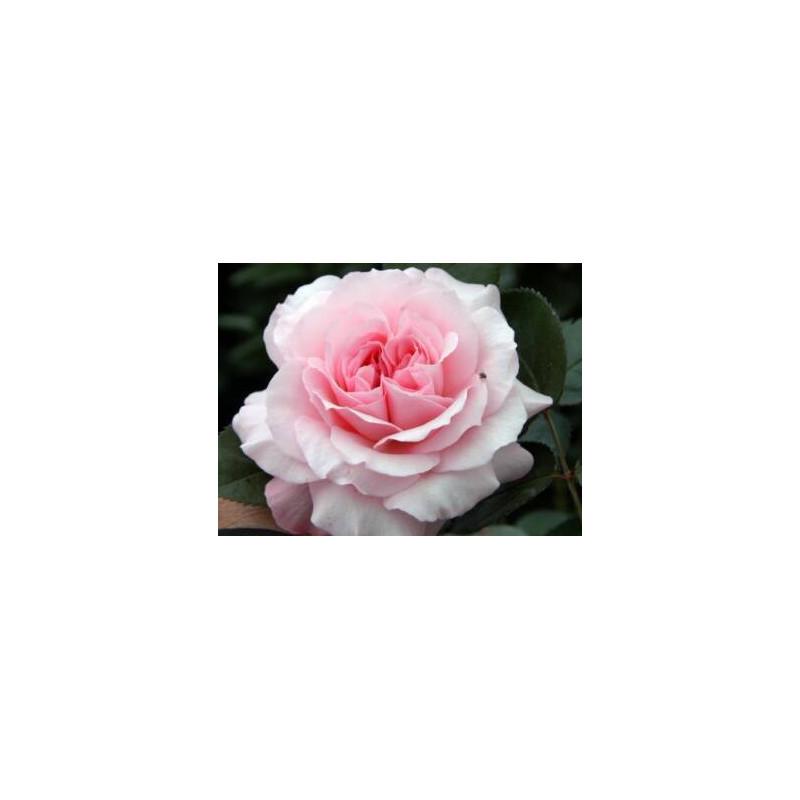 """Garden Rose Pink """"Mayra's Rose"""" 24 Stems"""