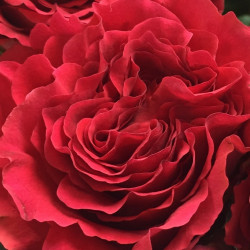 "Garden Rose Red ""Mayra's Citric"" 24 Stems"