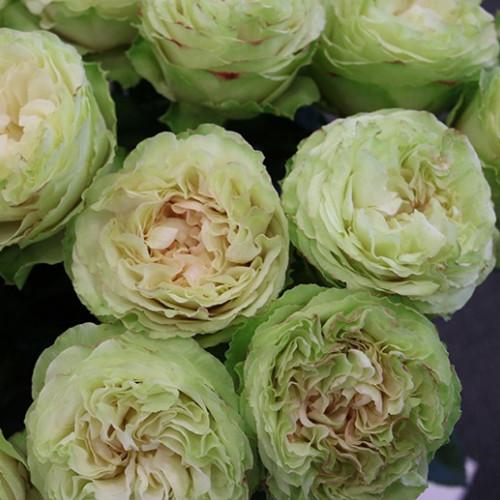 "Garden Rose Green ""Mayra's Green"" 24 Stems"