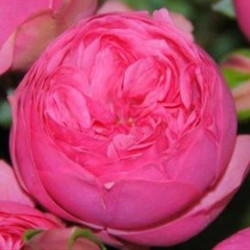 "Garden Rose Dark Pink ""Pink Piano"" 36 Stems"