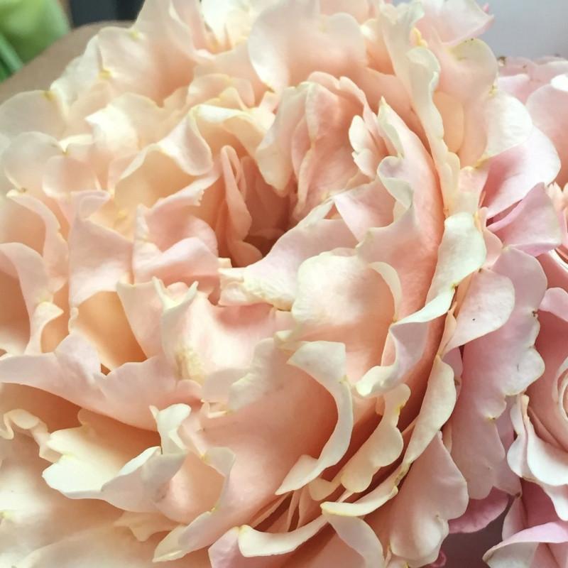 "Garden Rose Peach ""Mayra's Peach"" 24 Stems"
