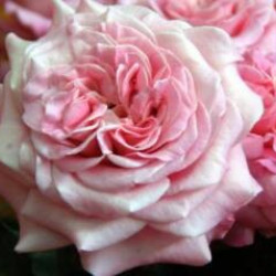 Garden Rose Pink Ashley 36 Stems