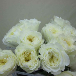 Garden Rose White Patience 36 Stems