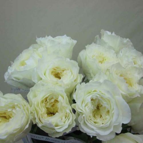 Garden Rose White Patience 36 Stems