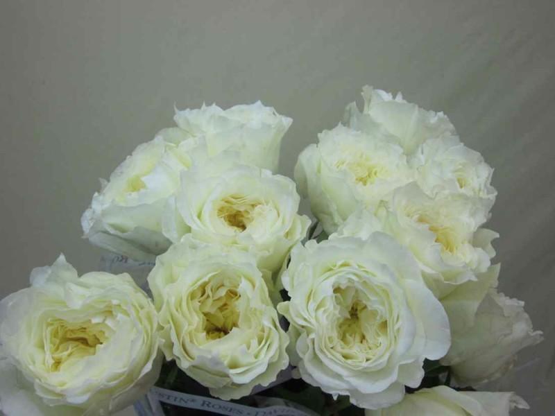 garden rose white patience 36 stems florasource - White Patience Garden Rose