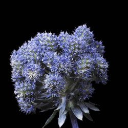 Eryngium Purple Magical Series 15 Stems